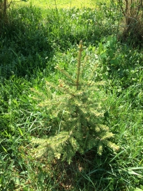 Previous years spruces